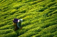 Türkiye'den Büyük Çay İhracatı Kazancı
